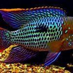 Рыбка аквариумная Акара бирюзовая в Молдове, Кишиневе