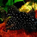 Рыбка аквариумная Анциструс в Молдове,Кишиневе