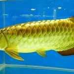 Рыбка аквариумная Арована в Молдове,Кишиневе