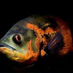 Рыбка аквариумная Астронотус в Молдове,Кишиневе