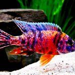 Рыбка аквариумная Аулонокара в Молдове,Кишиневе