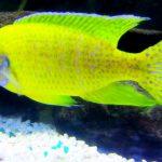 Рыбка аквариумная Аулонокара Бенша в Молдове, Кишиневе