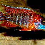 Рыбка аквариумная Аулонокара ред рубин в Молдове, Кишиневе