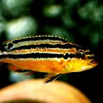 Рыбка аквариумная Ауратус золотой в Молдове, Кишиневе