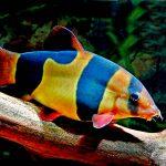 Рыбка аквариумная Боция клоун в Молдове, Кишиневе