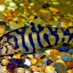 Рыбка аквариумная Боция мраморная в Молдове, Кишиневе