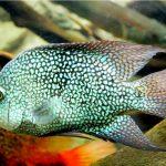 Рыбка аквариумная Цихлазома бриллиантовая в Молдове, Кишиневе