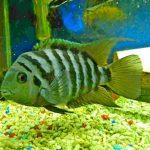 Рыбка аквариумная Цихлазома чернополосая в Молдове, Кишиневе