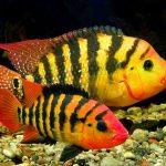 Рыбка аквариумная Цихлазома Феста в Молдове, Кишиневе