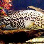 Рыбка аквариумная Цихлазома манагуанская в Молдове, Кишиневе