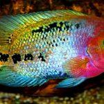 Рыбка аквариумная Цихлазома Радужная в Молдове, Кишиневе