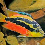 Рыбка аквариумная Цихлазома Сальвини в Молдове, Кишиневе