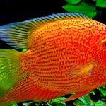 Рыбка аквариумная Цихлазома Северум в Молдове, Кишиневе