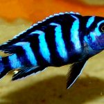 Рыбка аквариумная Демасони в Молдове, Кишиневе