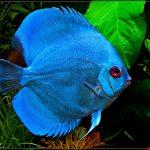 Рыбка аквариумная Дискус голубой в Молдове, Кишиневе