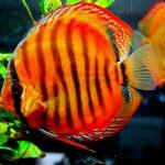 Рыбка аквариумная Дискус коричневый в Молдове, Кишиневе