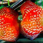 Рыбка аквариумная Дискусы в Молдове, Кишиневе