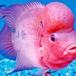 Рыбка аквариумная Флауэр хорн в Молдове, Кишиневе