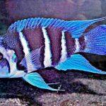 Рыбка аквариумнаяФронтоза бурунди в Молдове, Кишиневе