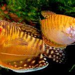 Рыбка аквариумная Гурами золотой в Молдове, Кишиневе