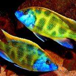 Рыбка аквариумная Хаплохромис леопардовый в Молдове, Кишиневе