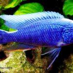 Рыбка аквариумная Хаплохромис васильковый в Молдове, Кишиневе