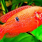Рыбка аквариумная Хромис красавец в Молдове, Кишиневе