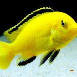Рыбка аквариумная Лабидохромис еллоу в Молдове, Кишиневе