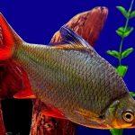 Рыбка аквариумная Лещевидный барбус в Молдове, Кишиневе