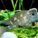 Рыбка аквариумная Львиноголовая цихлида в Молдове, Кишиневе