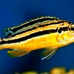 Рыбка аквариумная Меланохромис ауратус в Молдове, Кишиневе