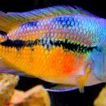 Рыбка аквариумная Никарагуанская цихлазома в Молдове, Кишиневе