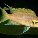 Рыбка аквариумная Принцесса Бурунди в Молдове, Кишиневе