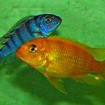 Рыбка аквариумнаяПсевдотрафеус ломбардо самец и самка в Молдове, Кишиневе
