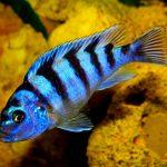 Рыбка аквариумная Псевдотрофеус ломбардо (самец) в Молдове, Кишиневе