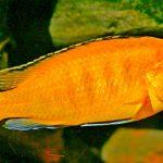 Рыбка аквариумная псевдотрофеус ломбардо (самка) в Молдове, Кишиневе