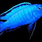 Рыбка аквариумная псевдотрофеус пиндани в Молдове, Кишиневе