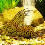 Рыбка аквариумная синодонтис в Молдове, Кишиневе