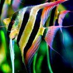 Рыбка аквариумная скалярия в Молдове, Кишиневе
