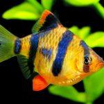 Рыбка аквариумная суматранский барбус в Молдове, Кишиневе