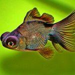 Рыбка аквариумная телескоп в Молдове, Кишиневе
