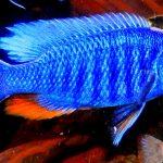 Рыбка аквариумная василёк в Молдове, Кишиневе