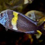 Рыбка аквариумная звездчатый трофеус в Молдове, Кишиневе